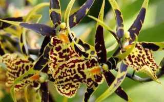 Орхидея камбрия уход в домашних условиях