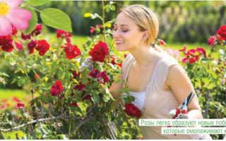 Для чего и когда подрезают розы