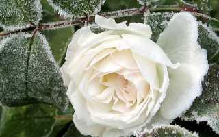 Как сохранить плетистые розы зимой в саду