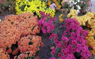 Почему не цветут хризантемы в саду