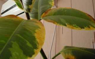 Ржавчина на листьях комнатных растений