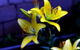 Фото и названия лилий с желтыми цветками