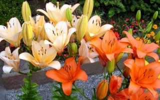 Обрезка лилии после цветения