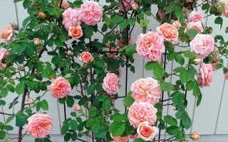 Как подготовить плетистые розы к зиме