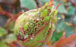 Весенняя обработка роз от тли