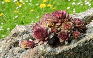 Ботаническое описание каменной розы молодила