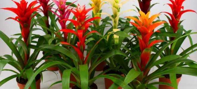 Комнатные цветы гузмания уход в домашних условиях