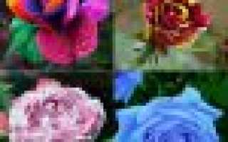 Как выглядят семена розы фото