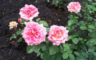 Как защитить розы от мороза