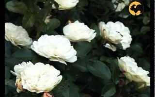 Виды листьев розы
