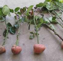 Вырастить розу из черенка в картошке