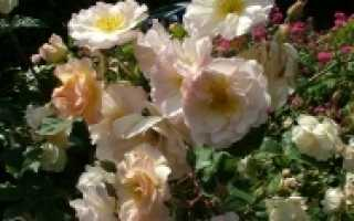 Мускусная роза посадка и уход