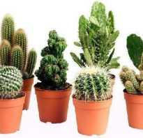 Как рассадить кактус детками