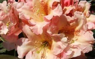 Рододендрон флаутандо зимостойкость