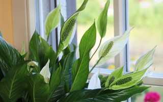 Комнатное растение спатифиллум как ухаживать