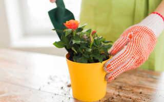 Как из покупных роз вырастить черенки