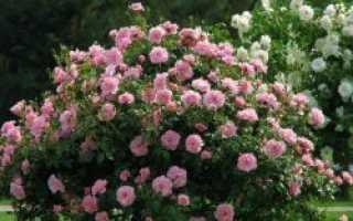Как укрыть парковые розы на зиму