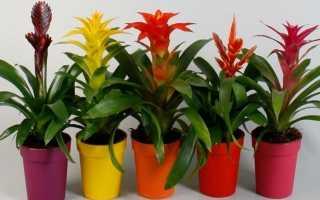 Бромелиевые комнатные растения
