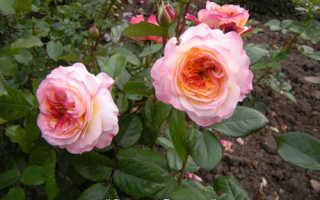 Особенности укрытия разных сортов роз