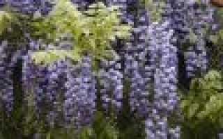 Глициния в подмосковье выращивание