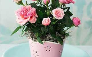 Комнатная роза не цветет что делать