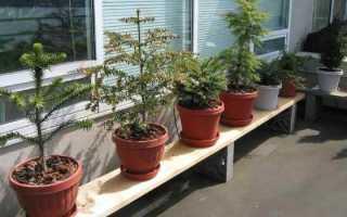 Хвойные комнатные растения фото и названия