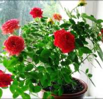 Белый налет на листьях розы комнатной