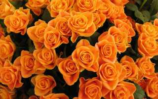 Бежевые розы фото