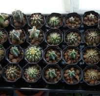 Выращивание кактусов из семян в домашних условиях