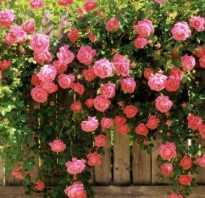 Какие виды роз бывают