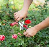 Инструкция, как пересадить большую или старую розу