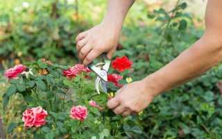 Как пересадить старую розу на другое место