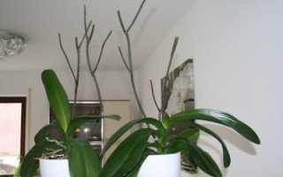 Что делать когда отцвела орхидея фаленопсис