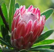 Африканская роза цветок протея как ухаживать