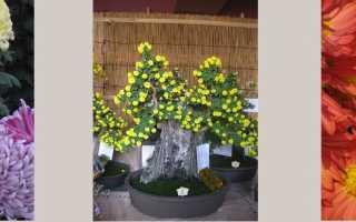 Хризантема цветок японии