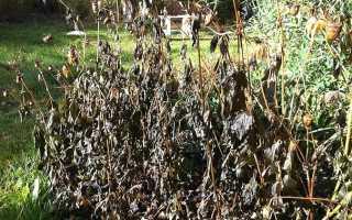 Хранение корней георгинов зимой