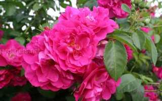 Основные достоинства канадской розы