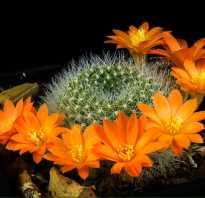 Все ли кактусы цветут