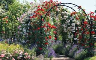 Выращивание вьющихся плетистых роз