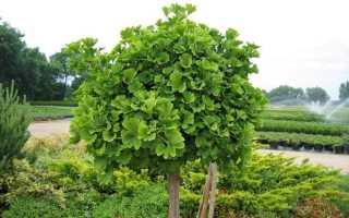 Растение гинкго билоба как выращивать