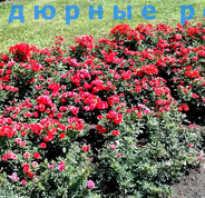 Бордюрная роза описание кустарника