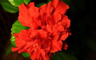 Китайская роза дерево уход в домашних условиях