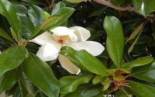 Цветки дерева магнолии и их фото