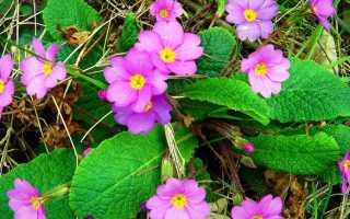 Ранние многолетние цветы цветущие в мае