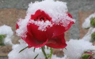 Виды морозостойких роз