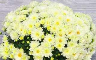 Как ухаживать за комнатной хризантемой в горшке