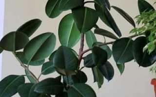 Почему желтеют и опадают листья у фикуса