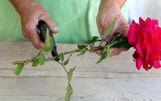 Выбор роз для черенкования
