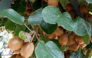 Русский киви растение