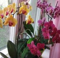 Как в домашних условиях размножить орхидею